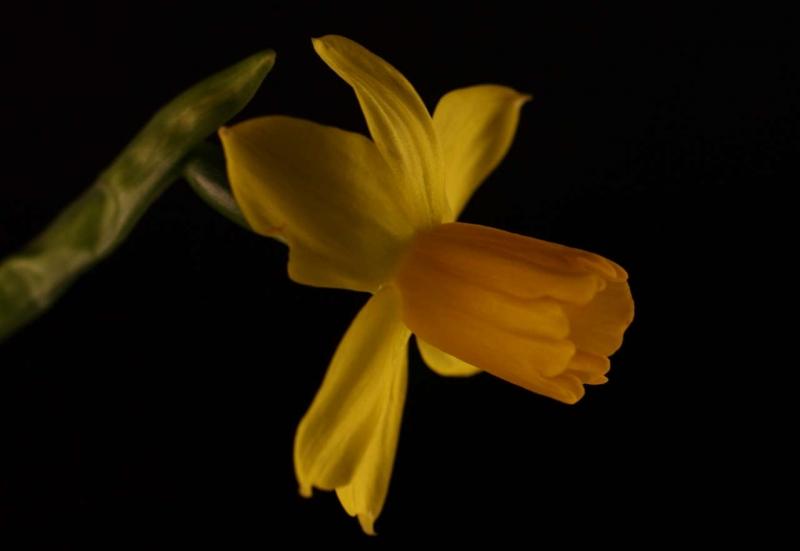 ©John Stratton -Daffodil