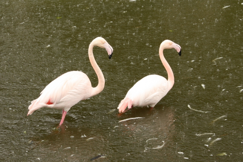 IMG_0042-Blijdorp-Flamingos-in-the-rain