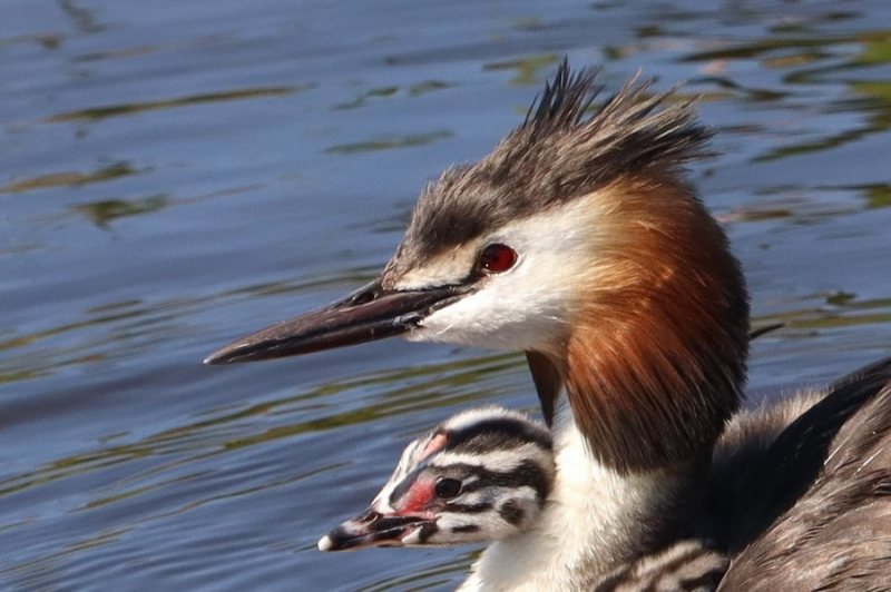 ©John Stratton Great crested grebe family