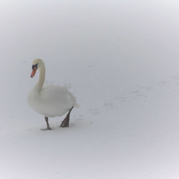 My enthusiasm for the rare opportunity of seeing the Hof Vijver covered in snow and ice was not matched by this swan, more accustomed to gliding along in the water.