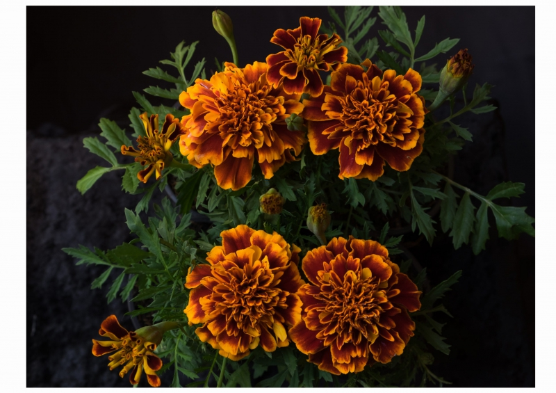 2017-05-2-Joop-French-Marigolds-e1495733404506