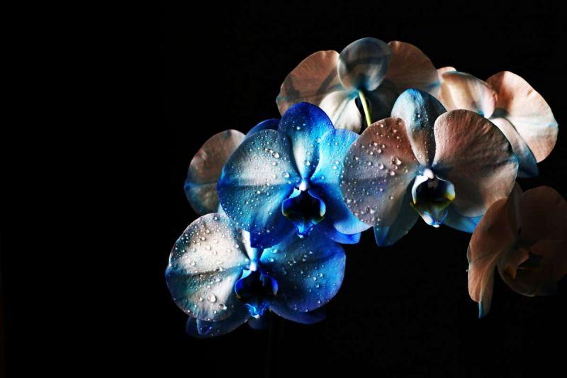 ©Roberto Francine - Orchidea