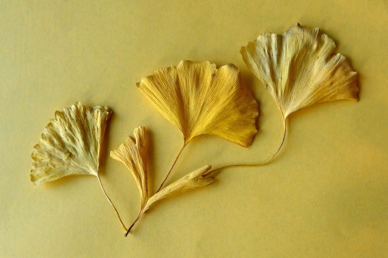 ©Heather Oortman-Yellow-Gingko