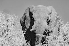 ©Roberto Francini_elephant BW