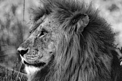 ©Roberto Francini - head of lion