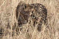 ©Roberto Francini - Chita serengeti