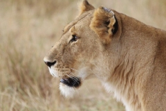 ©Roberto Francini - head of lioness