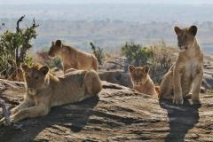 ©Roberto Francini - young lions at dawn