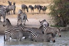 ©Roberto Francini - zebra who nurses